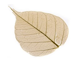 Набор листьев скелетированных (50шт) желтый